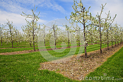 Apple tree plantation