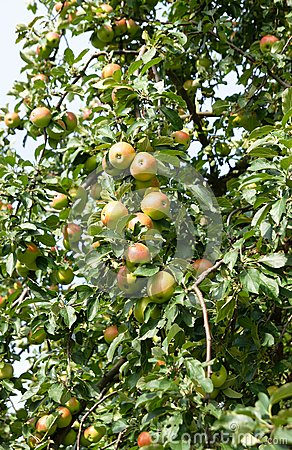 Apple tree with tasty fruits