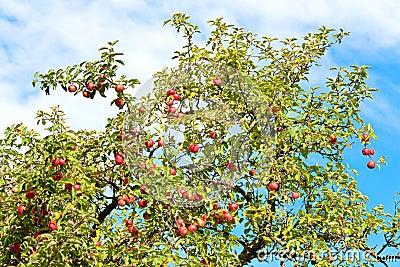 Apple-tree twig