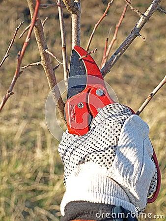 Apple tree work