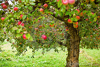 Apple trees orchard