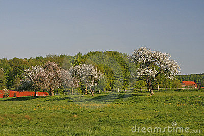 Apple trees in spring, Lower Saxony, Germany