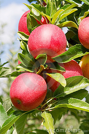 Free Apples Stock Images - 1250844