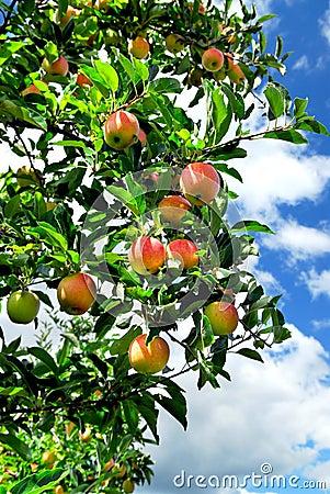 Free Apples Stock Photo - 3067820