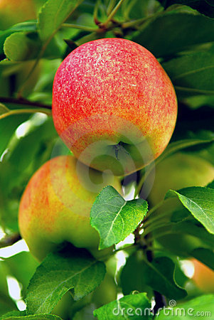 Free Apples Royalty Free Stock Image - 3067826