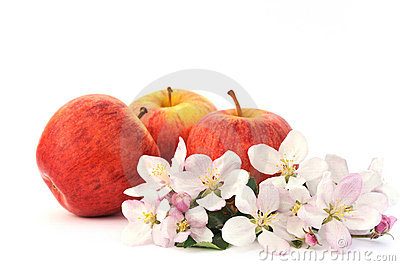 Apples and apple-tree blossoms