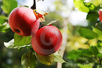 Apples on the branch.