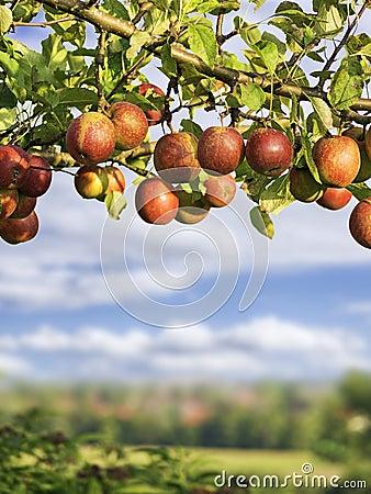 Apples on a brunch