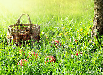 Apples and garden basket  in green grass