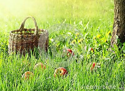 Apples and garden basket  in green grass