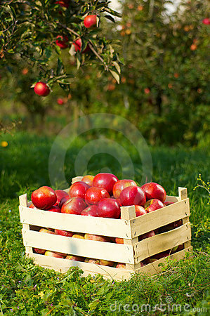 Free Apples In Orchard Stock Image - 1803401
