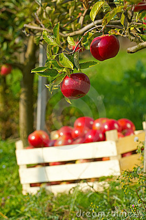 Free Apples In Orchard Stock Photos - 1803423