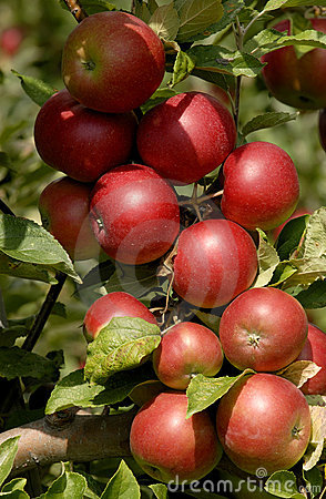 Free Apples On A Tree Royalty Free Stock Image - 1301546