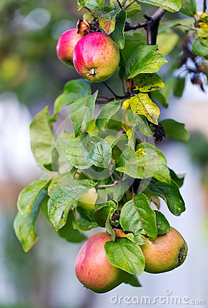 Free Apples On A Tree Stock Photo - 26968580