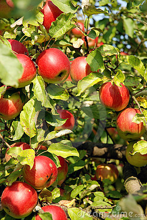 Free Apples On A Tree Royalty Free Stock Images - 6321199