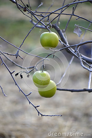 Free Apples On A Tree In December Royalty Free Stock Images - 64080249
