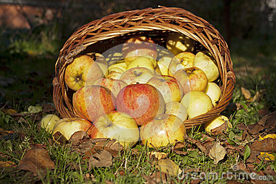 Apples, pour out of the wicker basket
