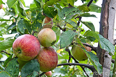 Apples ready to be plucked