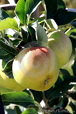 Apples are ripening in the north of Italy