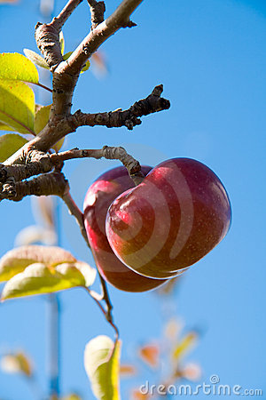 Apples on the Tree 2