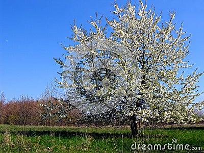 Appletree.