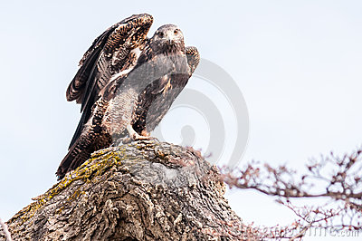 Appostarsi del falco