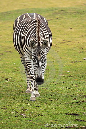 Approaching grant s zebra
