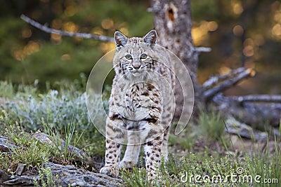 Approche de rufus de lynx de chat sauvage