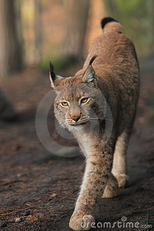Approching lynx