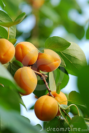 Free Apricot Stock Images - 14775564