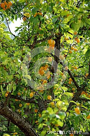 Free Apricot Royalty Free Stock Photos - 14881908