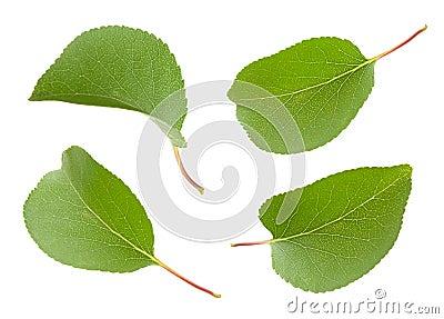 Apricot leaf set