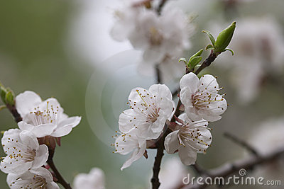 Apricot's Bloom Stock Images - Image: 668614