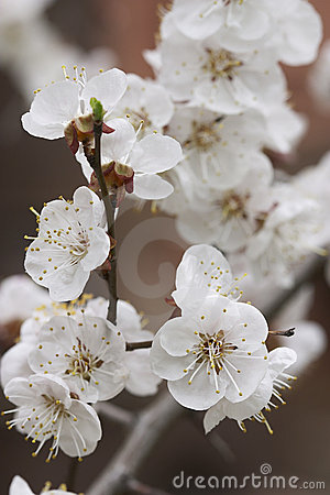 Apricot s bloom