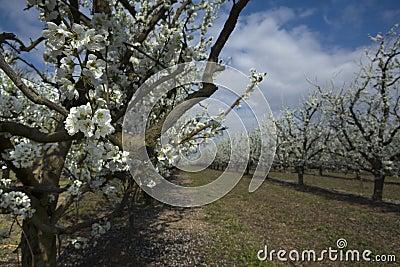 Apricot tree 3