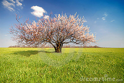 Apricot tree, day