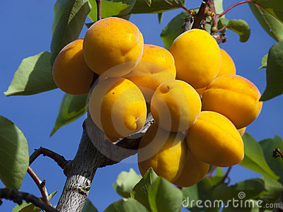 Apricots on tree
