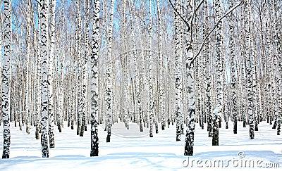 April blue sky in birch grove