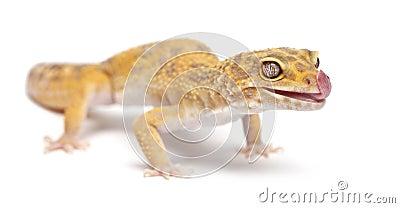 Aptor Leopard gecko, Eublepharis macularius