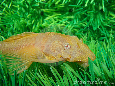 Aquarian catfish (Ancistrus dolichopterus).
