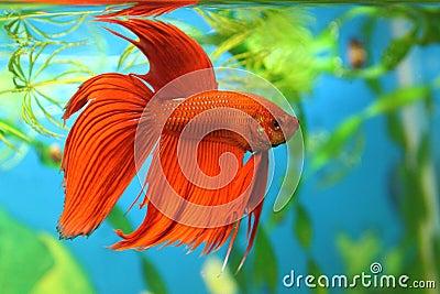 Aquarian fish Betta splendens