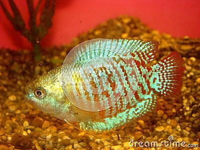 Aquarian fish ljalius Colisa lalia