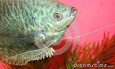Aquarian fish marble gurami Trichogaster trichopte