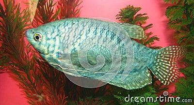 Aquarian fish Trichogaster trichopterus