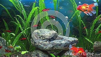 Aquarium avec le poisson rouge banque de vid os vid o for Aquarium poisson rouge temperature