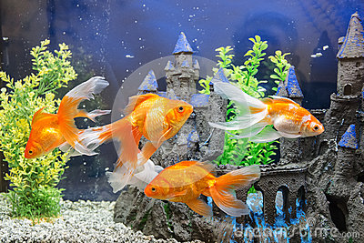 Aquarium avec le poisson rouge photo stock image 67687188 for Achat de poisson rouge