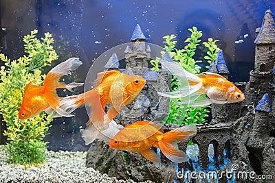 Aquarium avec le poisson rouge photo stock image 67687188 for Aquarium avec poisson