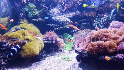 Aquarium with clown fish and other colorful fish with corals on background. Aquarium with clown fish and other colorful exotic fish with corals on background stock video