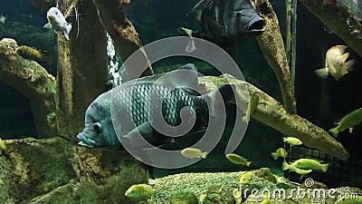 Aquarium with exotic fish. Exotic fish of different species stock footage