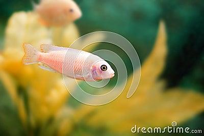 Aquarium Fish Stock Photo Image 52066491